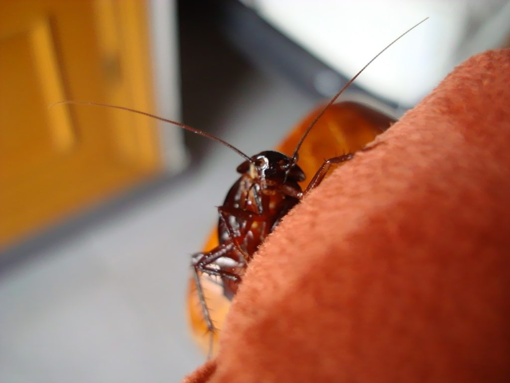 Cómo eliminar cucaracha alemana