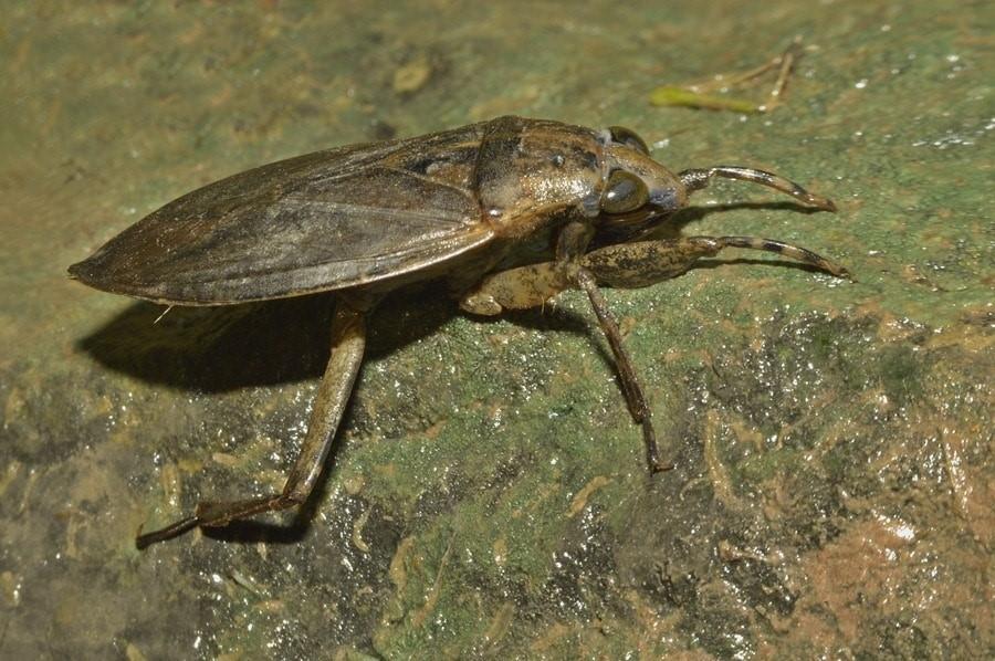 cucaracha de agua