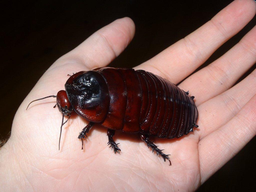 cucaracha alas