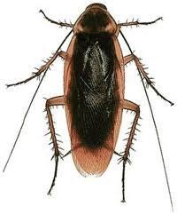 Cucaracha americana gigante