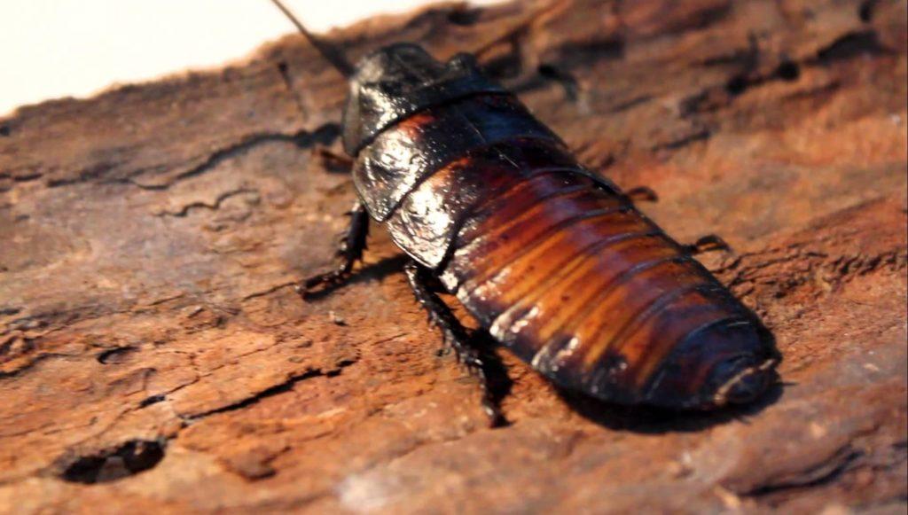 Cucaracha de Madagascar venta