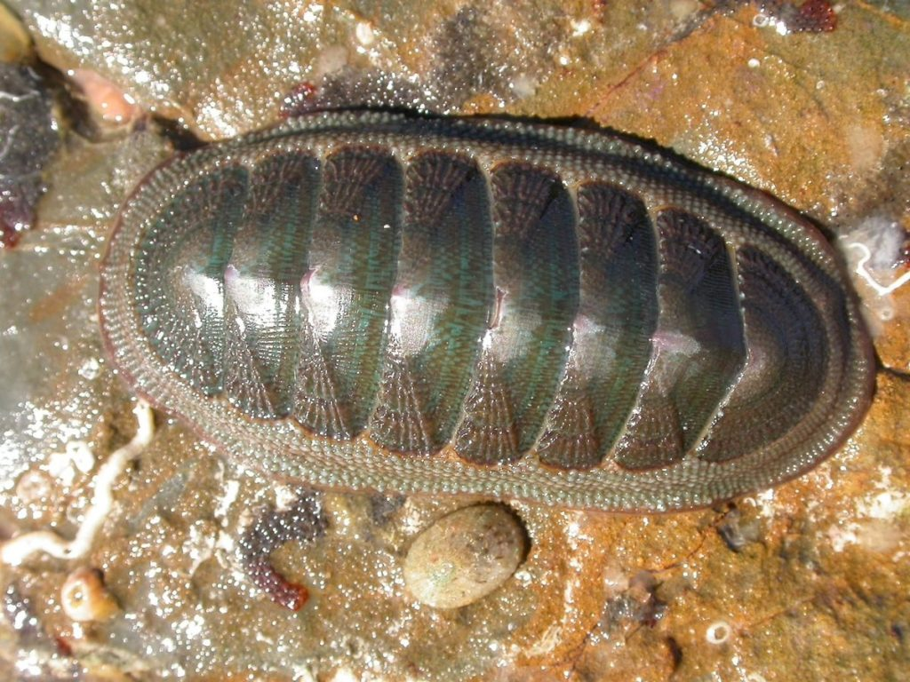 Cucaracha mar