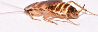 Cucaracha marrón