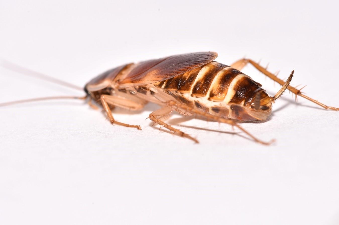 Cucaracha de bandas marrones