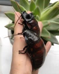 Cucaracha africana como mascotas