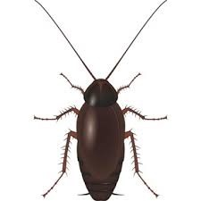 Cucaracha negra en España