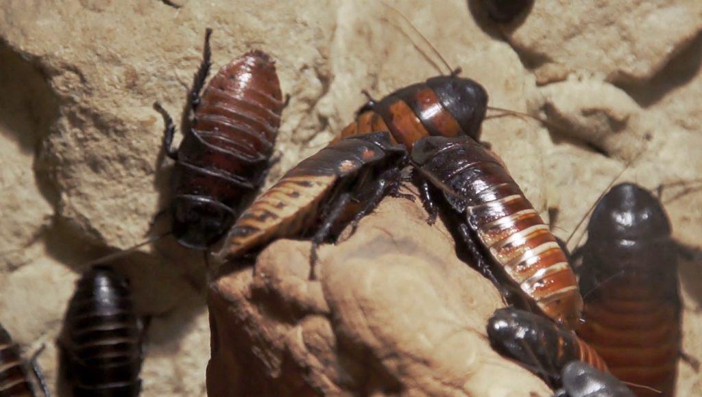 cucaracha gigante cultura popular