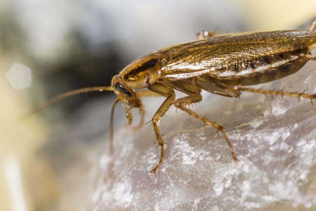 cucaracha pequeña