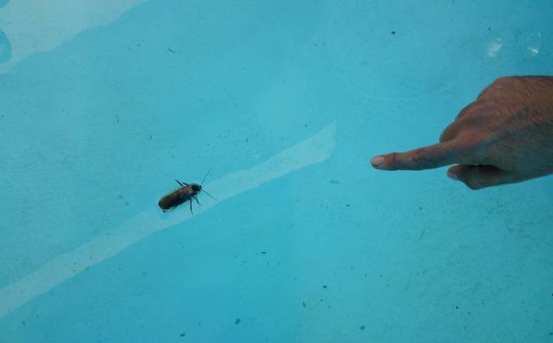 cucaracha de agua en piscinas