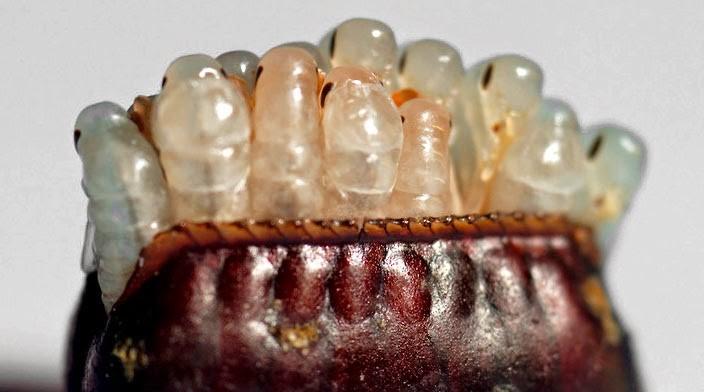 Huevos de cucaracha fotos