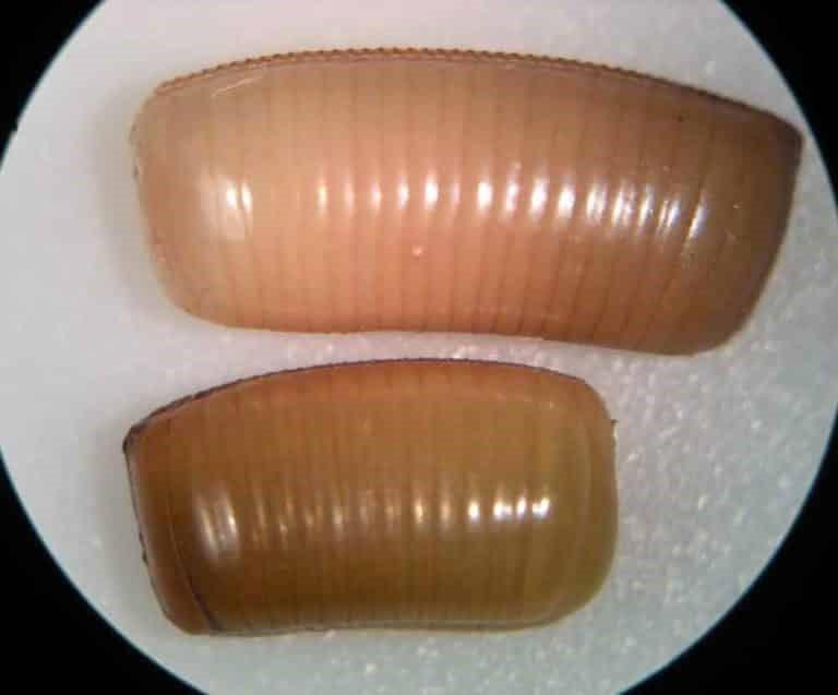 Huevos de cucaracha