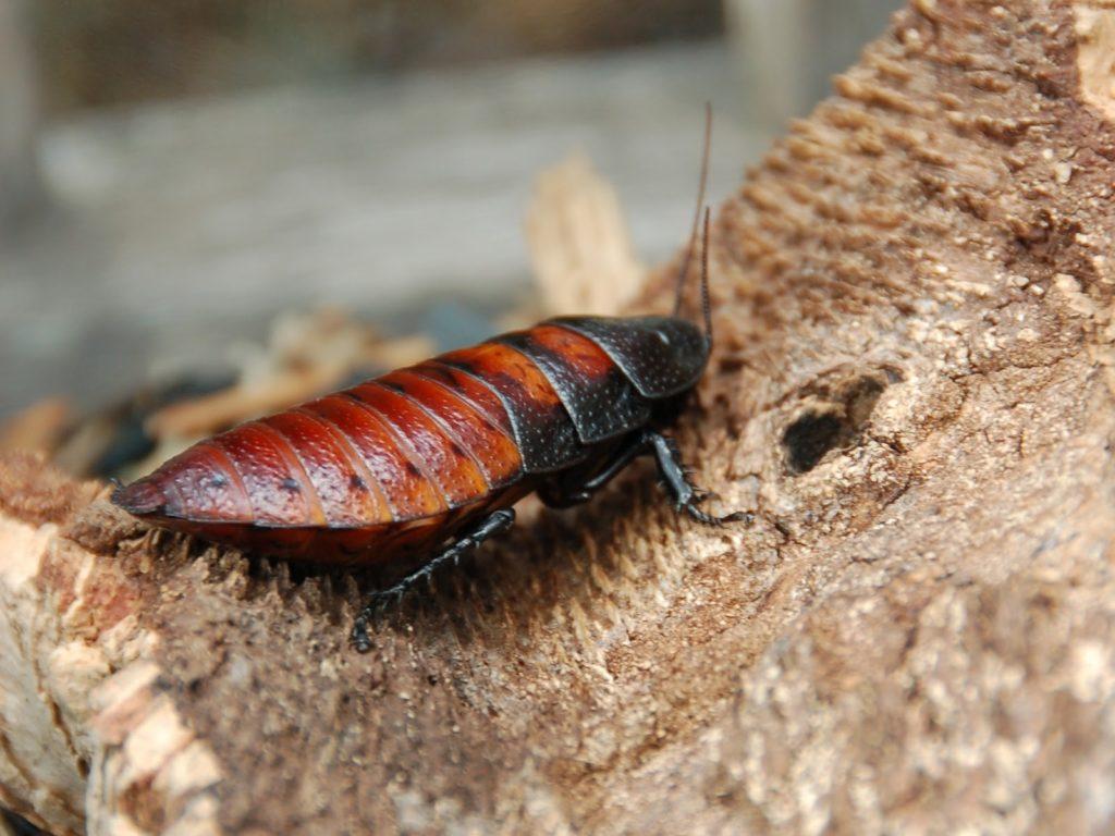 La cucaracha de Madagascar como mascota