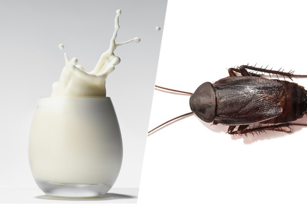 leche de cucaracha alimento del futuro