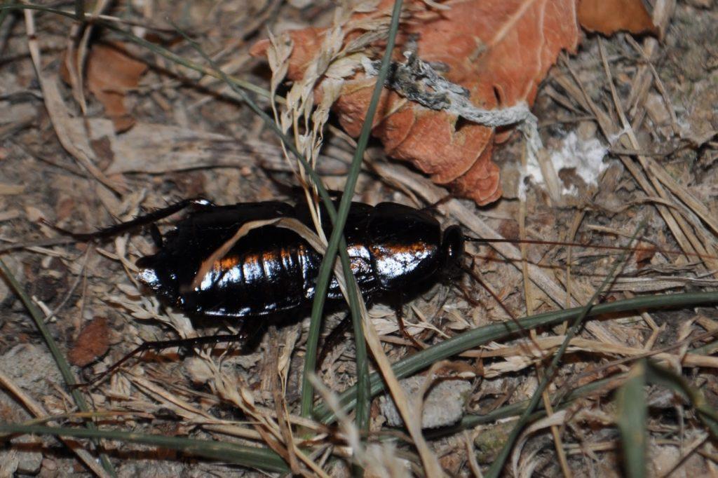 hábitat cucaracha oriental