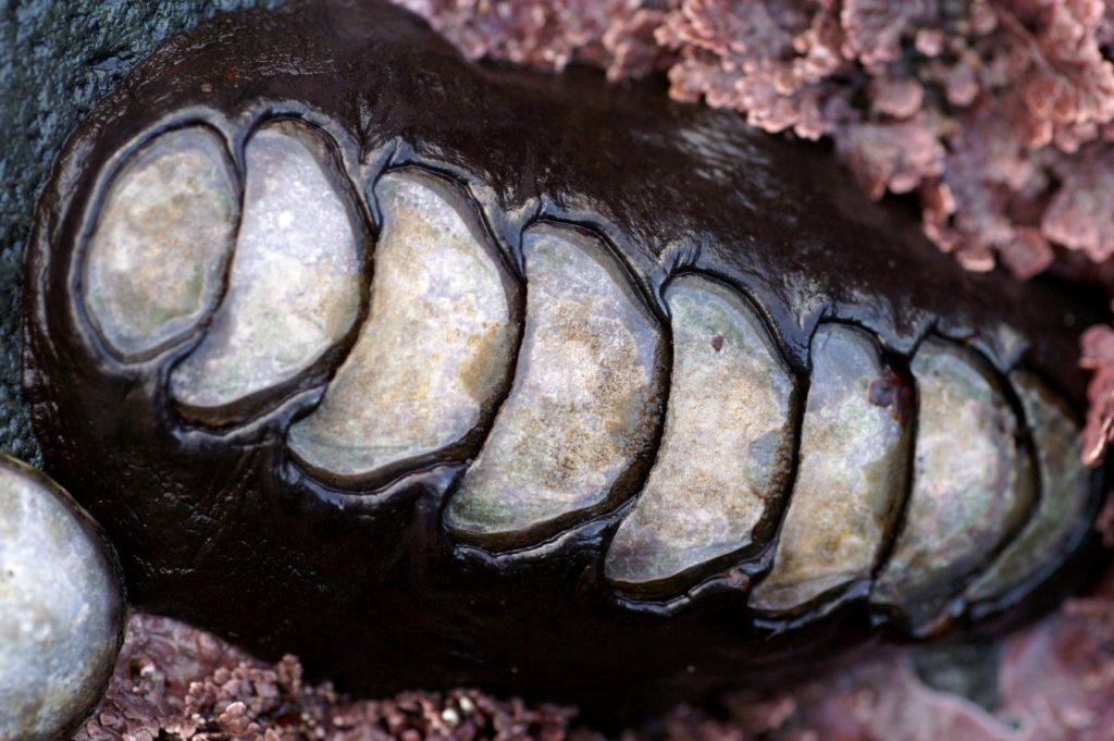 reproducción cucaracha de mar