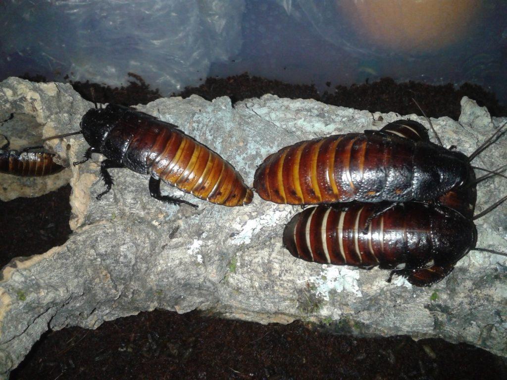 reproducción cucaracha madagascar