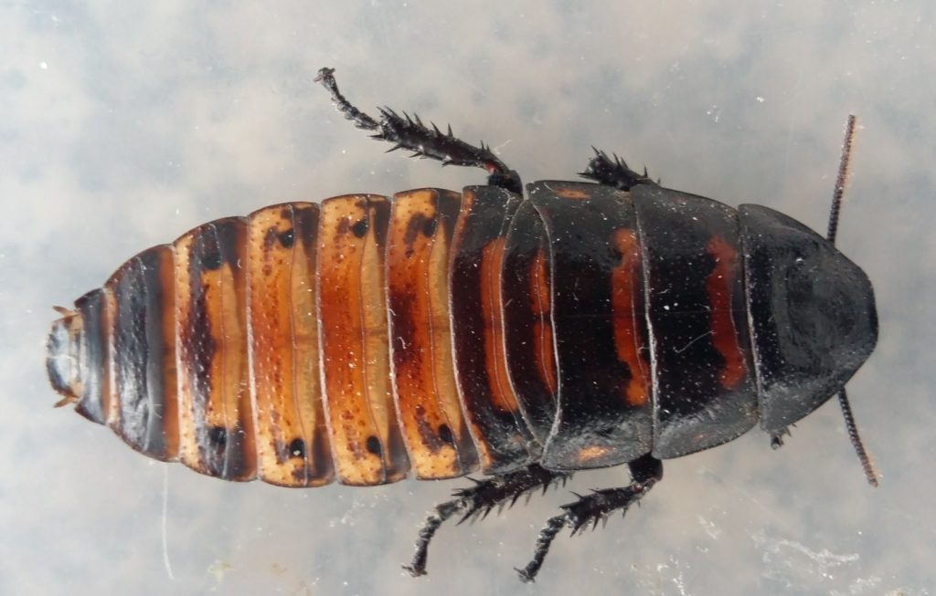 cucarache gigante de madagascar