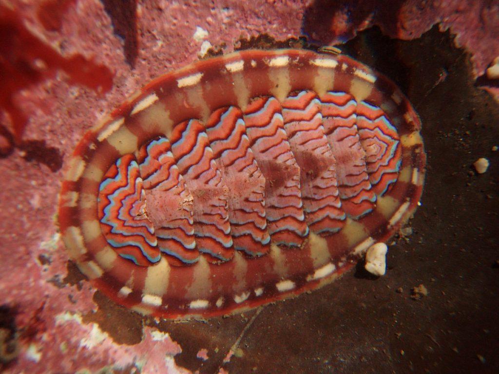 características cucaracha de mar