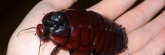 Cucaracha gigante australiana