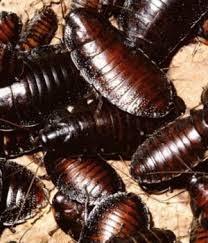cucaracha africana
