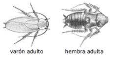 morfologia cucaracha americana
