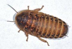 tamaños de cucaracha