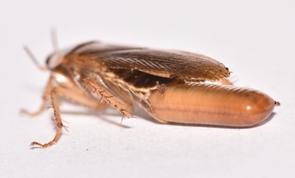 cucaracha germanica en España