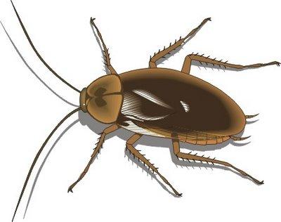 cucaracha oriental ciclo de vida