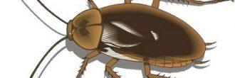 Cucaracha española